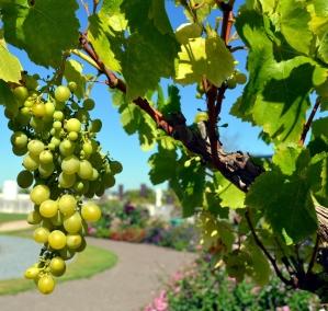 Grape vine with grapes